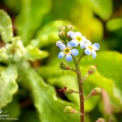 植物観察日記/胡瓜草/キュウリグサ キュウリグサ(胡瓜草)  目立たない小さ…