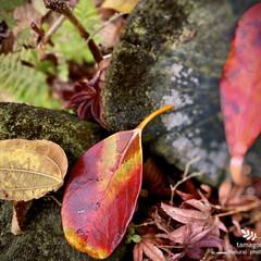 落葉/植物観察日記/佐保川散策/モミジ・ツバキ・サクラ・シダ 佐保川散策・落葉  赤色や黄色の落葉の中…