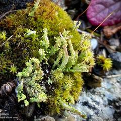 植物観察日記/苔 苔  色々な種類の苔達が密集しています …