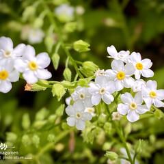 勿忘草/ワスレナグサ/植物観察日記 ワスレナグサ【勿忘草 】  白い勿忘草で…