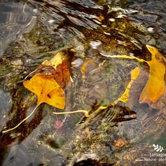 銀杏の葉/佐保川散策 佐保川散策・銀杏の葉  川の中の銀杏の葉…