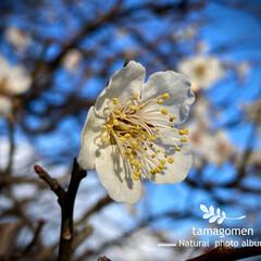 白梅/植物観察日記 シラウメ【白梅】  ご近所さん宅の満開の…(1枚目)