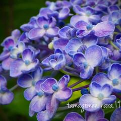 ウズアジサイ/渦紫陽花/植物観察日記 ウズアジサイ【渦紫陽花】  この時期だか…(1枚目)
