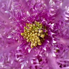 植物観察日記/葉牡丹/葉牡丹の蕾 ハボタン(葉牡丹)  葉牡丹の蕾出てきま…