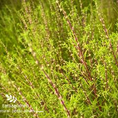 ホウキギ/コキア/植物観察日記 コキア  まだまだ暑いですが 植物達は秋…(1枚目)