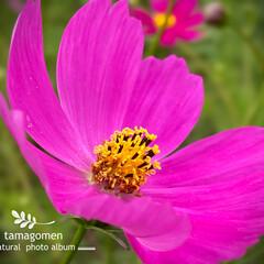 コスモス/秋桜/植物観察日記/花 コスモス【秋桜】  肌で感じる風も日ごと…