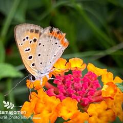 昆虫観察日記/植物観察日記/奈良・佐保川散策/花 奈良・佐保川散策  綺麗なオレンジ色のラ…