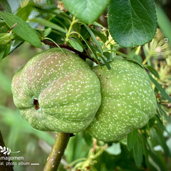 ボケ/木瓜/木瓜の実/植物観察日記 ボケ【木瓜】  木瓜の花が終ってたくさん…