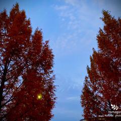 公園/自然観察日記/植物観察日記/曙杉/メタセコイア/おでかけ メタセコイア(曙杉)   日没も早く午後…