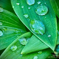 自宅の小さな庭の葉っぱ/雨の雫 雨の雫  雨上がりの葉っぱに雨の雫が と…