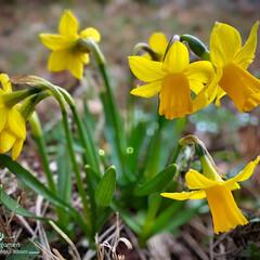 スイセン/黄水仙/植物観察日記 スイセン(黄水仙)  背丈の低い黄水仙で…