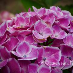 紫陽花/植物観察日記 アジサイ【紫陽花】  紫陽花の似合う季節…(1枚目)