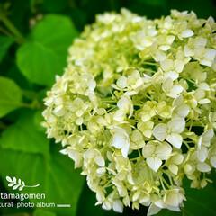 アナベル/植物観察日記 アナベル  まだまだ咲いていますね ほん…