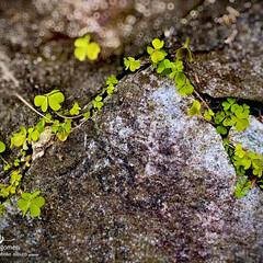 植物観察日記/方喰の葉 カタバミ(方喰)  華やかでなくても可愛…