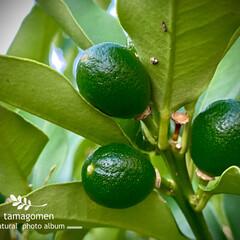 金柑の実/キンカン/金柑/植物観察日記 キンカン【金柑】  青々とした金柑の実が…