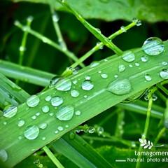 雨粒/自然観察日記/植物観察日記 雨粒  お花の様な晴れやかさは無いものの…