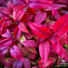 植物観察日記/オタフクナンテン オタフクナンテン  お花じゃないけれど …