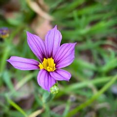 ニワゼキショウ/植物観察日記 ニワゼキショウ  昔から大好きなお花です…