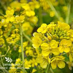菜の花/植物観察日記 ナノハナ【菜の花】  暖かくなったり寒く…(1枚目)