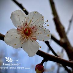 冬桜/植物観察日記 フユザクラ【冬桜】  この季節華やかなお…(1枚目)