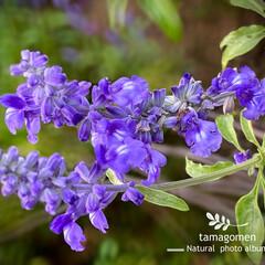ご近所さん宅の庭花/サルビア/植物観察日記/花 サルビア  ご近所さん宅の庭花です 紫色…