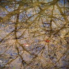 川路桜/佐保川の川辺/自然観察日記/佐保川散策 佐保川散策・川路桜  水面に写る川路桜を…