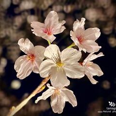 桜のライトアップ/ソメイヨシノ/染井吉野/佐保川散策 佐保川散策・ ソメイヨシノ(染井吉野) …