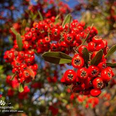 ピラカンサ/おでかけ/植物観察日記/自然観察日記 ピラカンサ  紅くてとても可愛らしいです