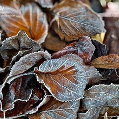 朝霜/花水木の葉/おでかけ/植物観察日記 朝霜に凍る花水木の葉  とても寒い朝でし…