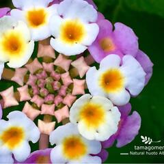 ランタナ/ランタナ七変化/我が家の小さな庭花/自然観察日記/植物観察/LIMIAな暮らし ランタナ(七変化)  私の小さな庭のお花…