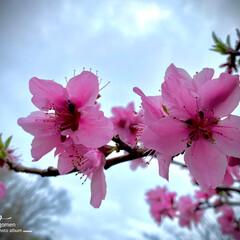 モモノハナ/桃之花/植物観察日記 モモノハナ(桃之花)  濃いピンク色で可…