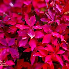 植物観察日記/ドウダンツツジ紅葉/灯台躑躅 ドウダンツツジ(灯台躑躅)  鮮やかな色…