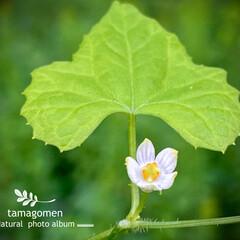 雀瓜/スズメウリ/植物観察日記/花 スズメウリ(雀瓜)  小さな白花が可愛ら…