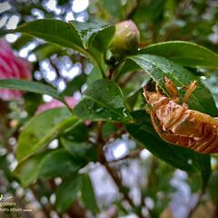 自然観察日記/蝉の抜殻/植物観察日記/椿 椿と蝉の抜殻  去年の蝉の抜殻が綺麗なま…