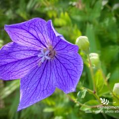 キキョウ/桔梗/植物観察日記 キキョウ【桔梗】  秋の七草の一つなんで…