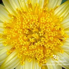 ジニア/植物観察日記 ジニア  パステルカラーが美しいジニアさ…