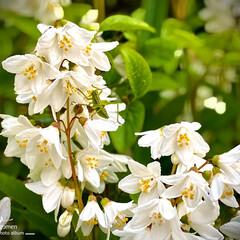 ウツギ/植物観察日記 ウツギ  今日はとても良いお天気ですねー…