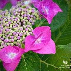 額紫陽花/ガクアジサイ/植物観察日記 ガクアジサイ【額紫陽花】  可愛らしいで…
