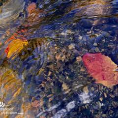 佐保川/桜落葉/おでかけ 川中の桜枯葉  寒いですねー (((*´…