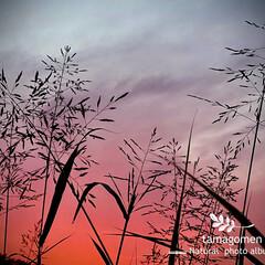 西播蜀黍と秋の夕暮れ空/植物観察日記/セイバンモロコシ/西播蜀黍/自然観察日記/空 西播蜀黍と秋の夕暮れ空  美しく燃える様…
