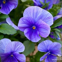 植物観察日記/パノラ パノラ  紫色も綺麗ですねぇー (・∀・…(1枚目)