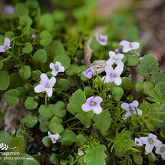 ご近所さん/バイオレットクレス/おでかけ/植物観察日記 バイオレットクレス  薄紫色の小さなお花…