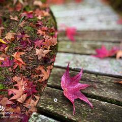 公園のベンチ/モミジバフウ/紅葉葉風の落ち葉/おでかけ 紅葉葉風の落ち葉  公園のベンチに紅葉葉…