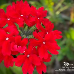 真っ赤なバーベナ/バーベナ/植物観察日記 バーベナ  真っ赤なバーベナとても綺麗で…(1枚目)