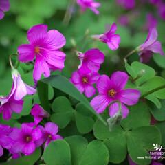 ご近所さん/iPhone11ProMax/植物観察日記/自然観察日記/ハナカタバミ ハナカタバミ(花片喰)  たくさん群生し…