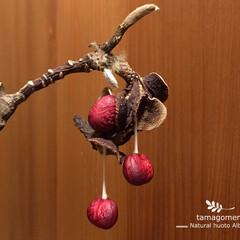 コブシの種子垂れる!/コブシの種子/植物観察日記/自然観察日記/コブシ/辛夷 コブシ【辛夷】  コブシの実が熟し 白い…
