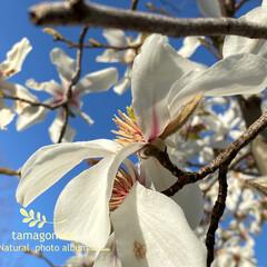 辛夷/植物観察日記 コブシ【辛夷】  満開を迎えた辛夷の花 …(2枚目)