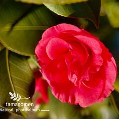 椿/植物観察日記 ツバキ【椿】  薔薇の花のように咲いてい…(1枚目)