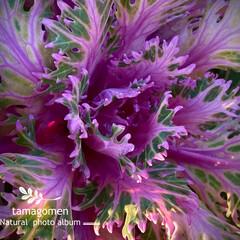 葉牡丹/植物観察日記 ハボタン【葉牡丹】  珊瑚の様な葉牡丹さ…