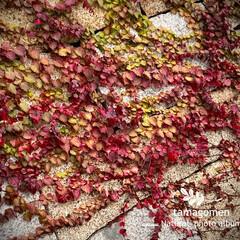 ツタ/蔦/植物観察日記 ツタ【蔦】  壁を這う様に広がる蔦の葉 …